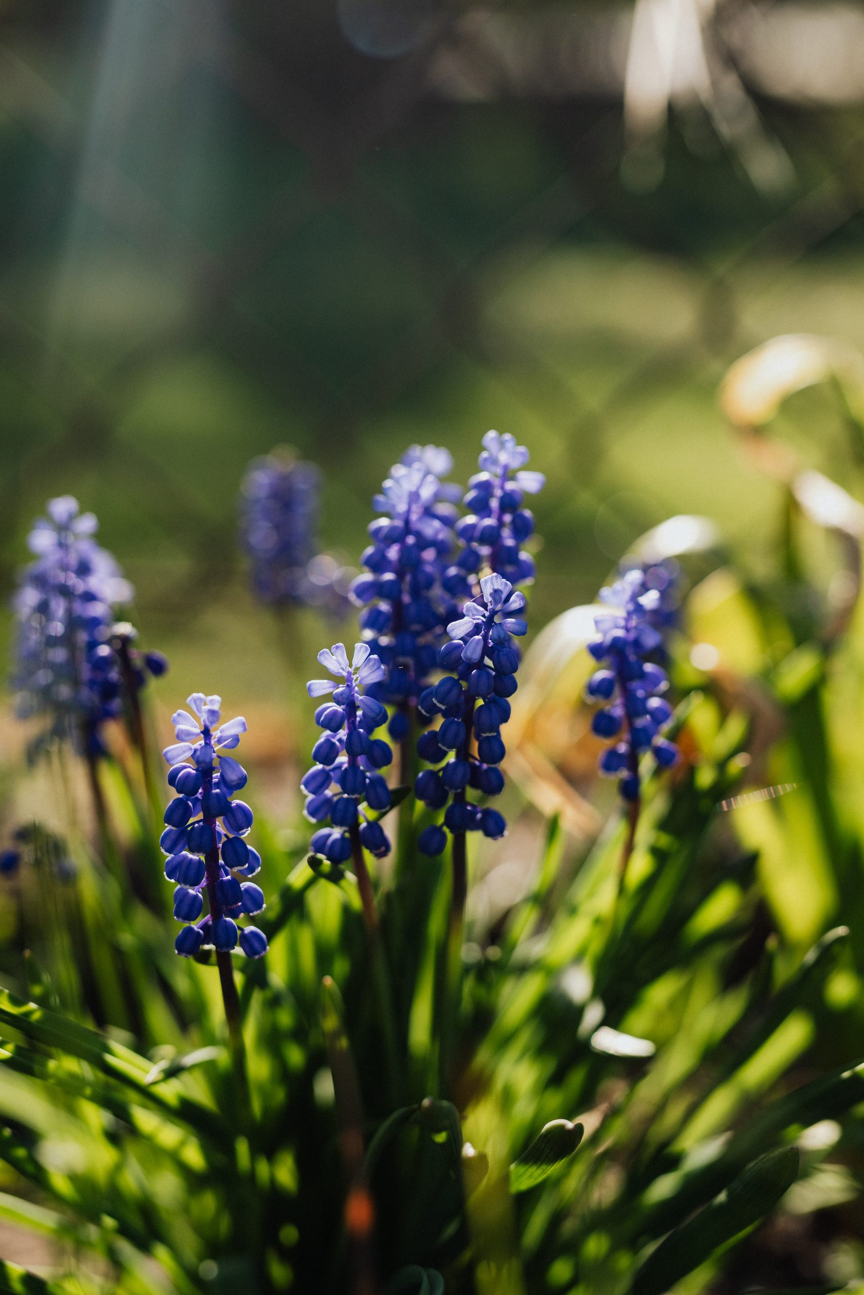 Grape hyacinths blooming in summer garden